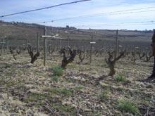 Una de las viñas de Remírez de Ganuza (Samaniego)